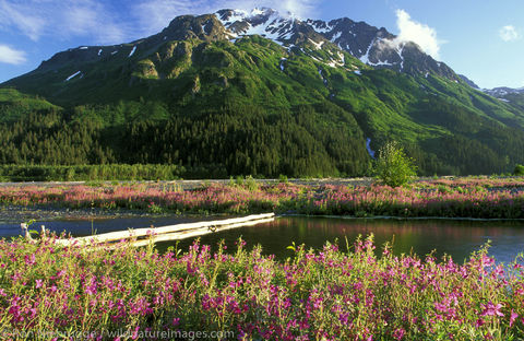 AK, Alaska, Alaskan, American, Americas, Chugach, Chugach National Forest, Epilobium angustifolium ssp. angustifolium, Fireweed...
