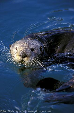 AK, Alaska, America, American, Americas, Enhydra lutris, Kenai Peninsula, Mustelidae, Niebrugge, North, North American, Ocean...