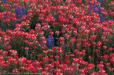 Americas, Indian Paintbrush, North America, North American, Ron Niebrugge, San Antonio, United States of America, bloom, blooming...