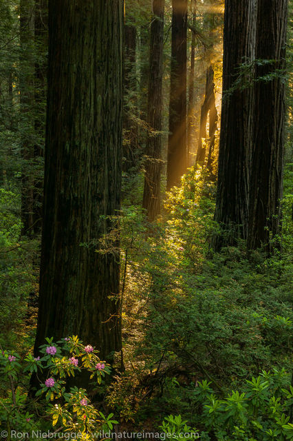 California, Rhododendrons, Del Norte Coast Redwoods State Park, redwoods