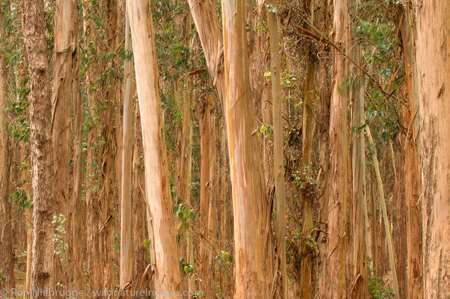 Eucalyptus trees in the Presidio,