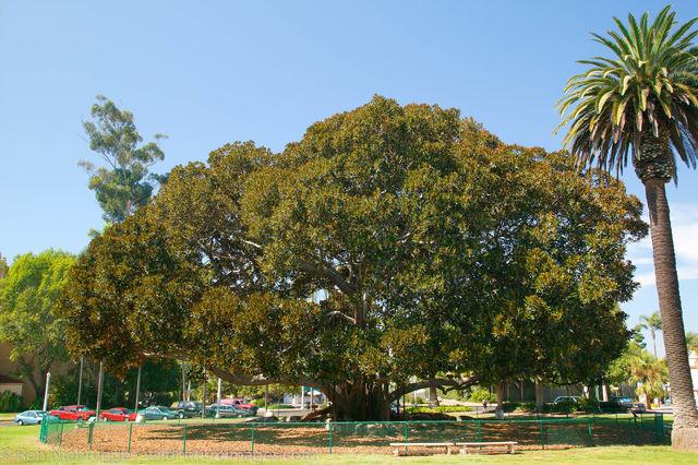 Moreton Bay Fig tree