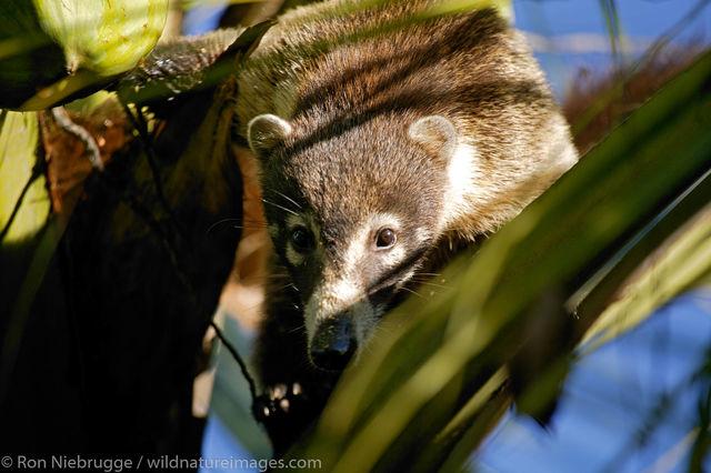 Costa Rica, photos, White-nosed Coati
