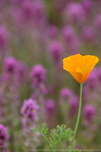 Sonoran Desert National Monument, Arizona, wildflowers