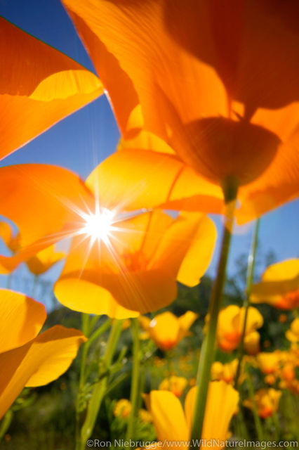 Oatman, Arizona, wildflowers