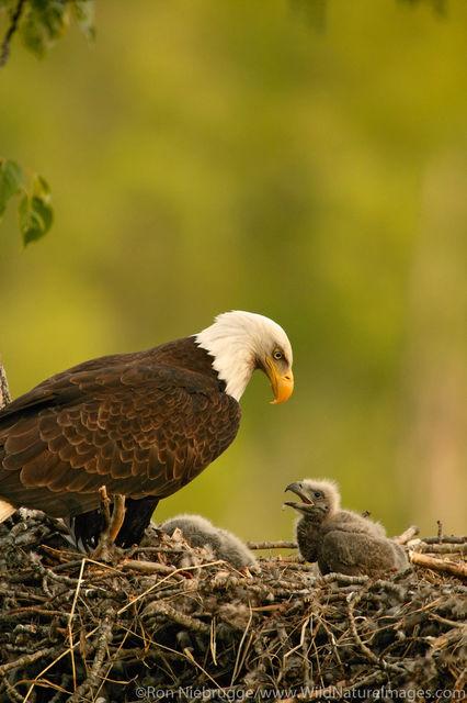 bald eagle, eagle, photos
