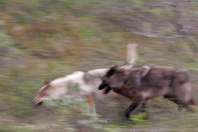 Denali National Park, Alaska, wolf, wolves
