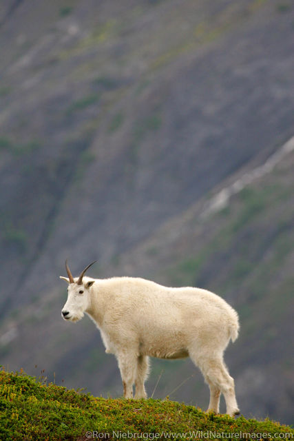 Kenai Fjords National Park, Alaska, Mountain Goat