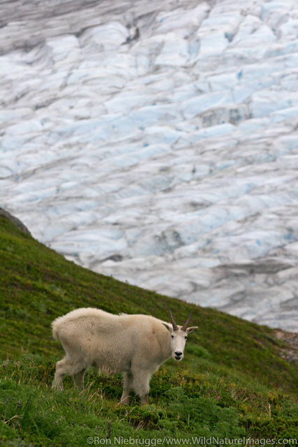 Kenai Fjords National Park, Alaska, Mountain Goat
