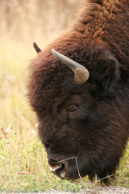 Buffalo along the Alaska Highway
