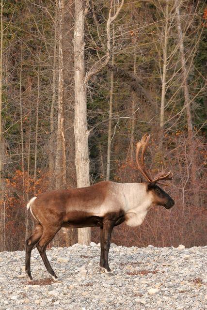 Caribou along the Alaska Highway