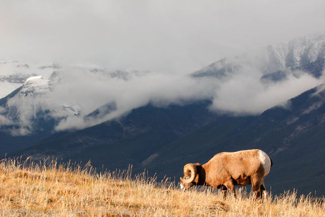 Bighorn Sheep, Jasper National Park