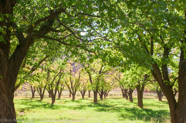 Apple orchard, Fruita