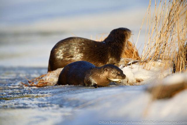 Land Otter