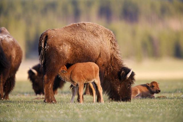 bison, buffalo,