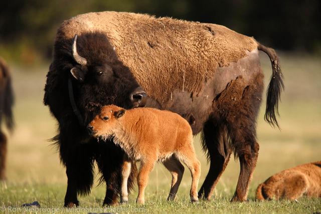 Buffalo in the Lower Geyser Basin