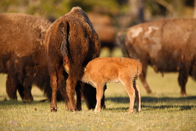 Yellowstone National Park, Wyoming, buffalo