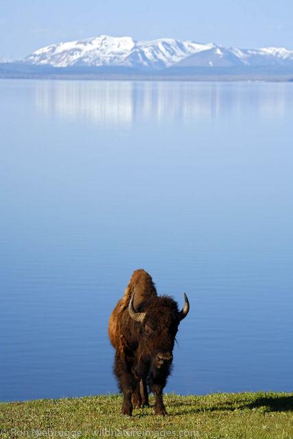 bison, buffalo, photos