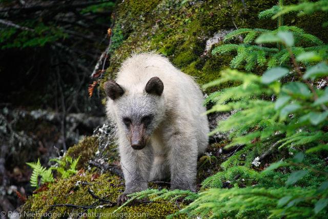 Spirt Bear