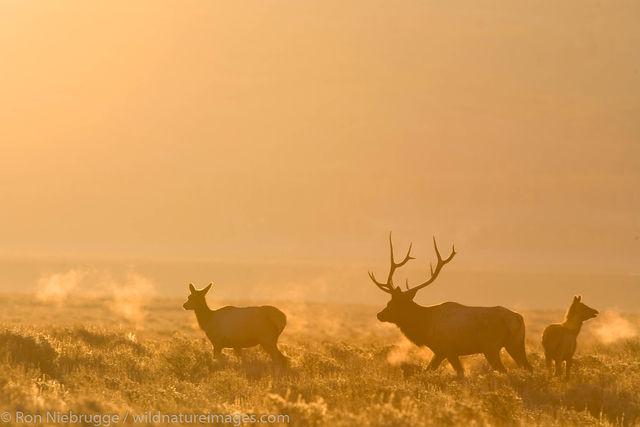 Elk, Grand Teton National Park