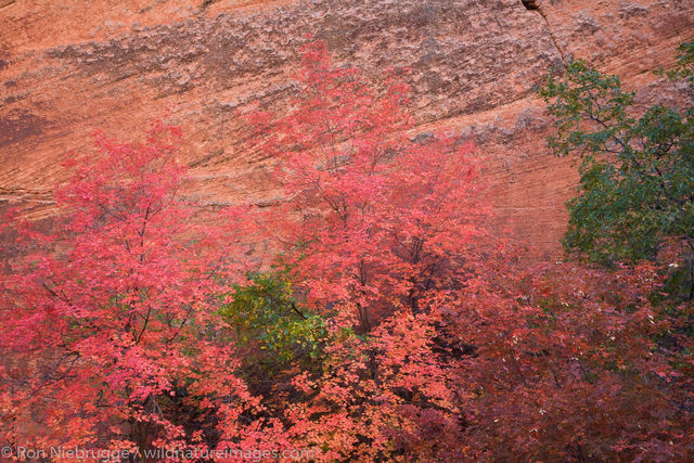 Fall Colors, Zion National Park