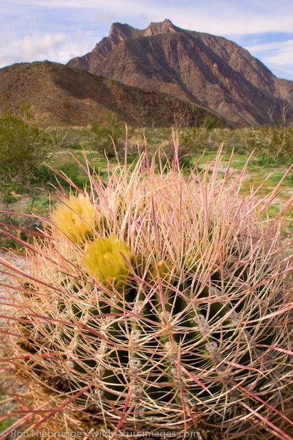 Southwestern Barrel Cactus