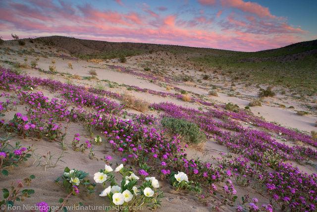 Anza-Borrego Wildflowers