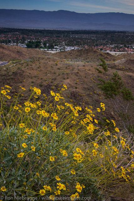Wildflowers, Rancho Mirage