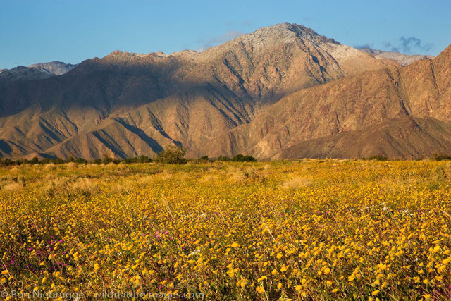 Desert Gold Wildflowers in Coyote Canyon