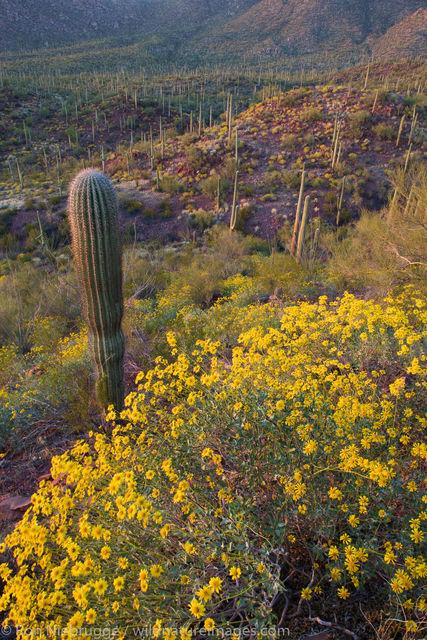 Wildflowers Saguaro National Park