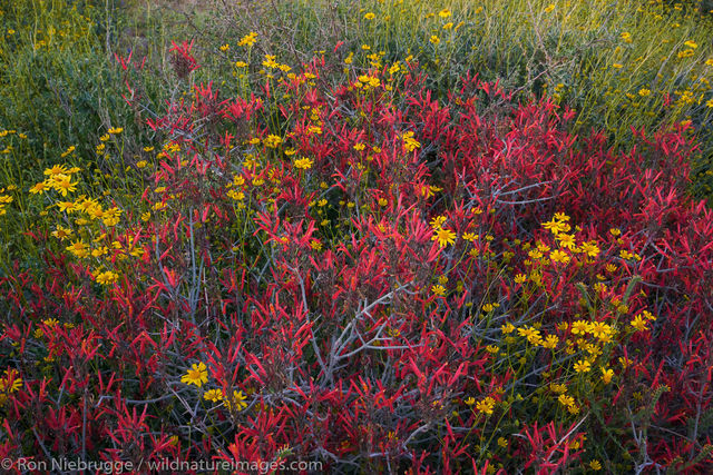 Wildflowers McDowell Mountain Regional Park