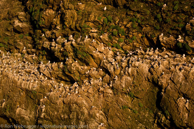 Black-legged Kittiwake colony