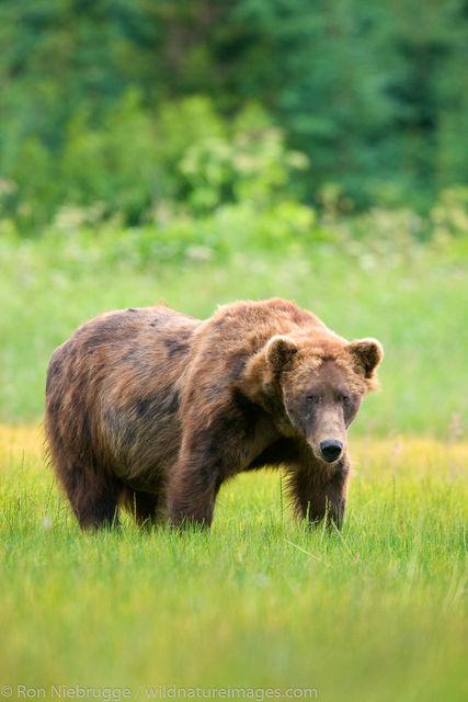 Male Brown Bear