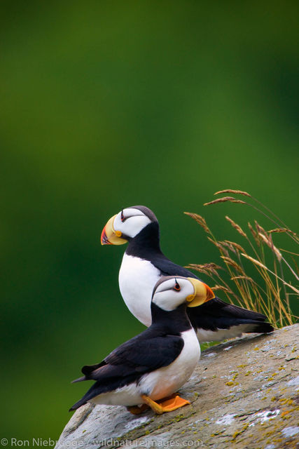 Horned puffin, photos