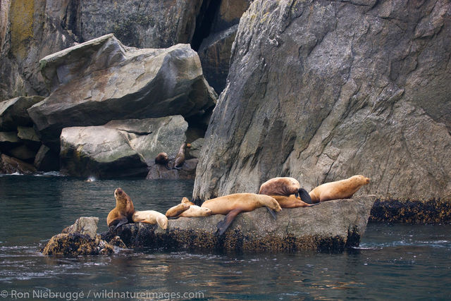 Steller (Northern) Sea Lions