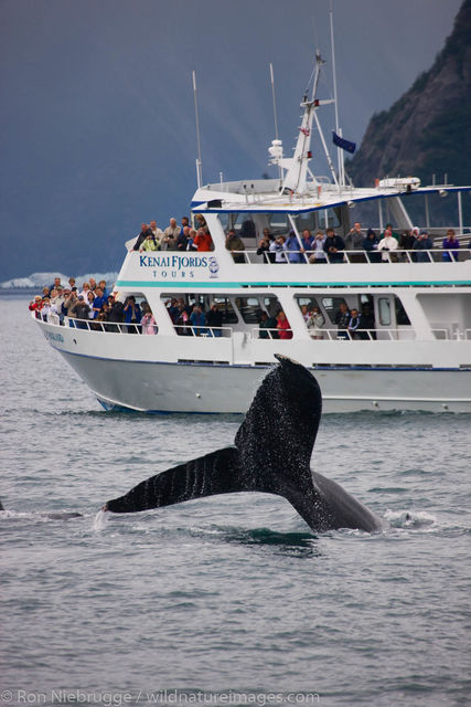 Humpback Whale and Tour Boat