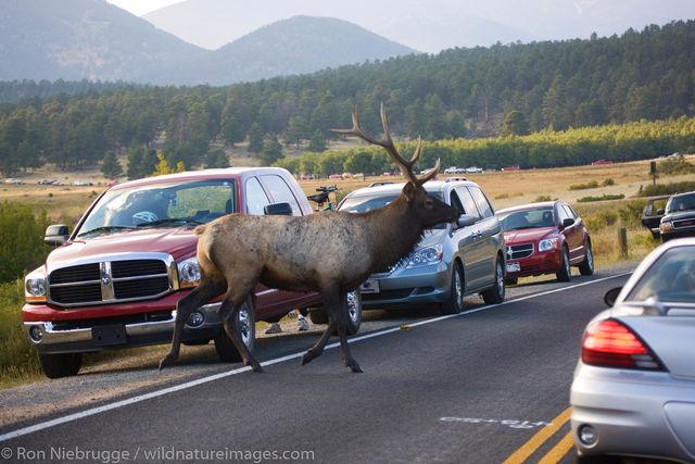 Bull Elk, Rocky Mountain National Park