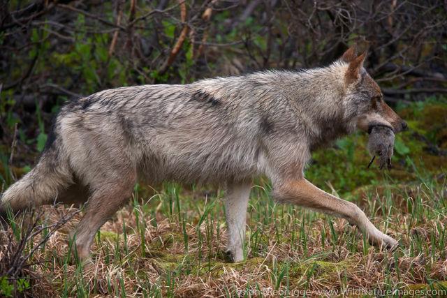 Denali National Park, Alaska, photo, picture, wolf