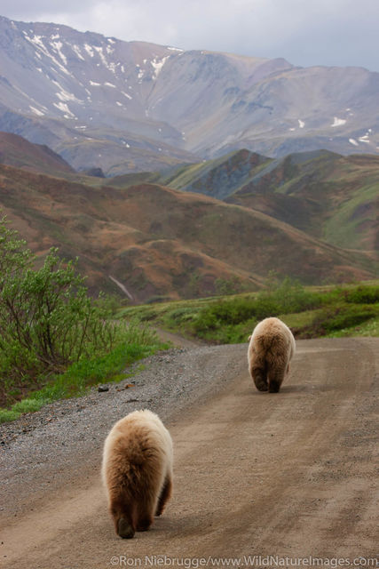 Grizzly Bear Walks the Road