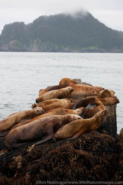 Steller Sea Lion Haul Out