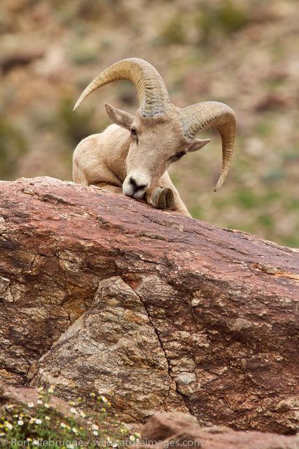 Peninsular Desert Bighorn Sheep