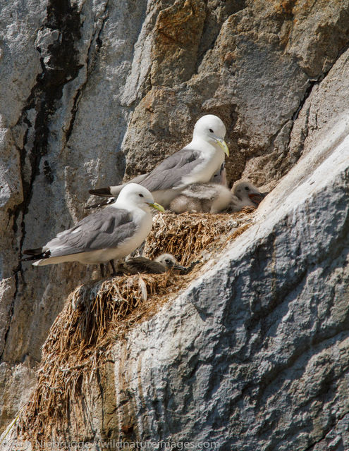 Nesting Black-legged Kittiwakes