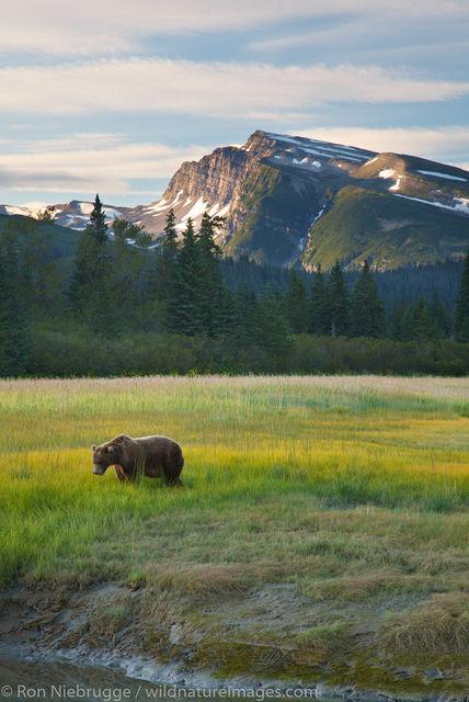 bear at Lake Clark N.P.