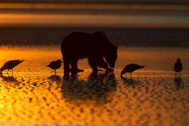 Brown Bear Sunrise