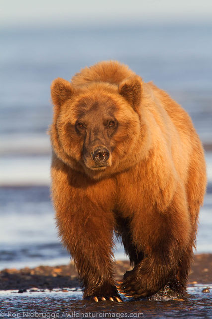 Lake Clark National Park, Alaska, brown bear, grizzly, bear, photos