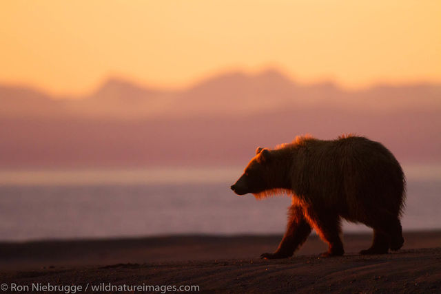 Lake Clark National Park, Alaska, brown bear, bears, grizzly