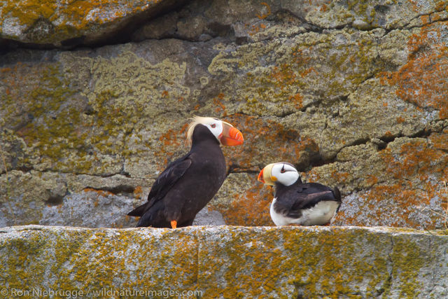 Horned and Tufted Puffin