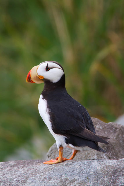 Lake Clark National Park, Alaska, horned puffin