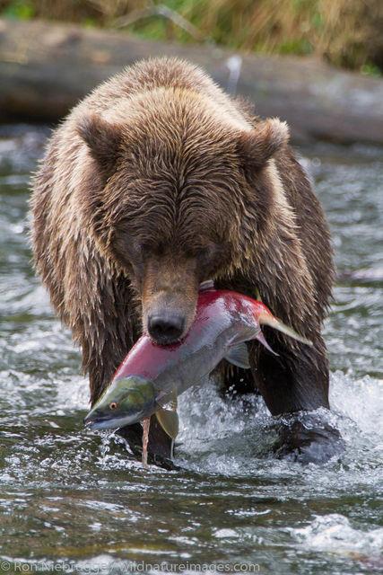 Chugach National Forest, Alaska Chugach, bear, photos