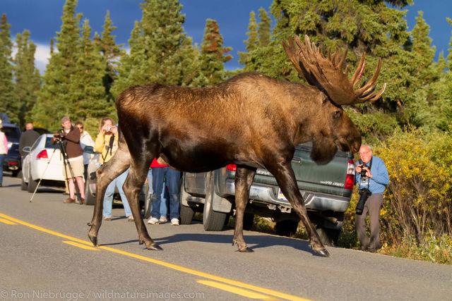 moose, photos